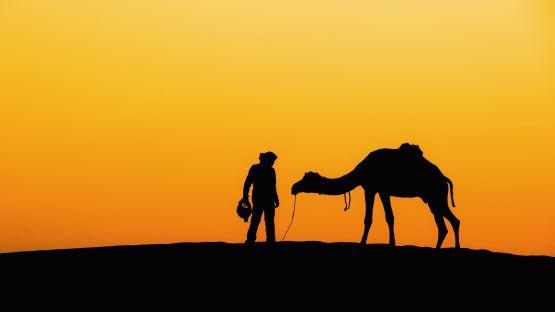 web insolent camel, desert, rajasthanm india
