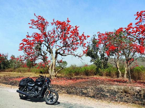 DSC05201 Fabulous Flame of the Forest (Butea Monosperma) trees in  Bandipur_1WEB